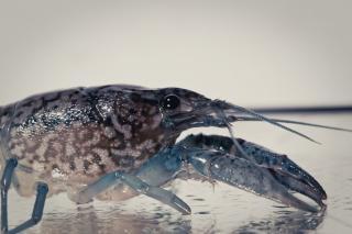 Crayfish, crawdad