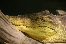 Crocodile, hunter