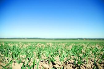 Crop growing