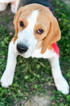 Cute beagle portrait