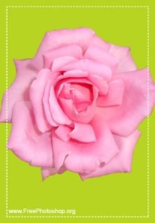 Cute pink rose psd