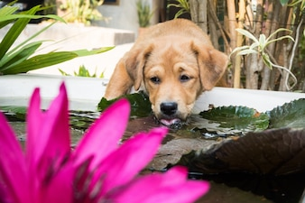 Cute puppy drinks the water on the pond, And beautiful pink lotus.