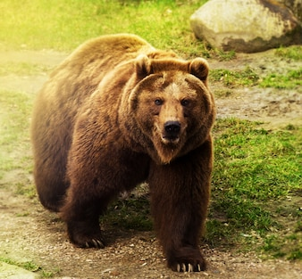 Cute russian bear walking on green grass. Nature background.