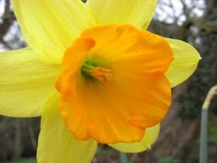 Daffodil, macro