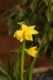 Daffodil, color