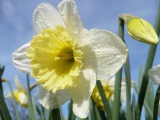 Daffodils, season