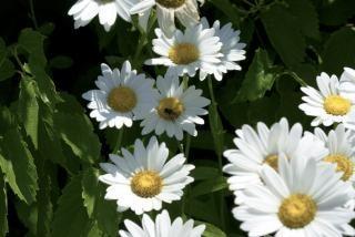 daisies  growth