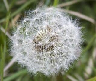 Dandelion flower in the wilderness