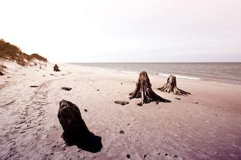 Dead tree trunks in Slowinski National Park.