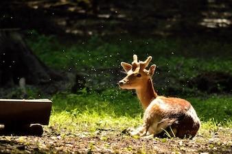 Deer lying on pasture