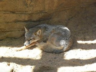 desert fox  fox
