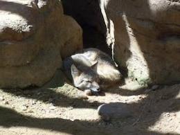 desert fox  zoo