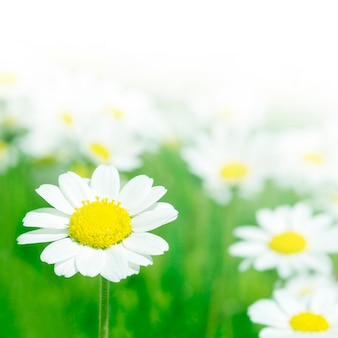 Detailed daisy background