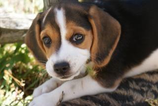 Dog, pedigreed