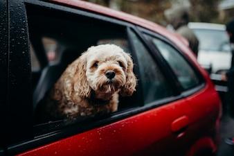 Dog showing the head through a car window.