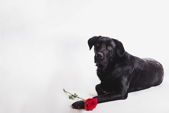 Dog with a rose on the paws