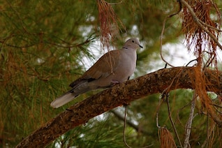 dove animal pigeon tree sitting bird feathered