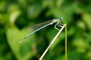 dragonfly , fauna