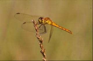 DRAGONFLY, animal, closeup, wings