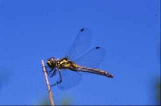 DRAGONFLY, animal, dragonfly, wings, insect
