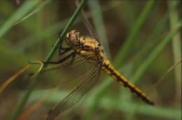 DRAGONFLY, animal, wings