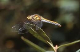 DRAGONFLY, closeup, dragonfly
