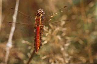 DRAGONFLY, closeup, insect