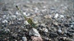 dragonfly  crawl