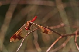 DRAGONFLY, insect, animal