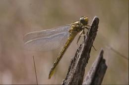 DRAGONFLY, macro, dragonfly, animal