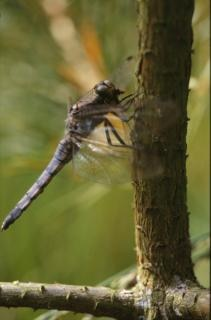 DRAGONFLY, macro, dragonfly, insect