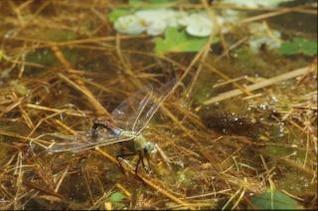 DRAGONFLY, macro, dragonfly