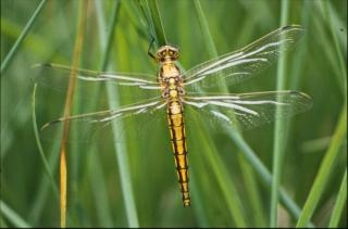 DRAGONFLY, macro, insect, closeup