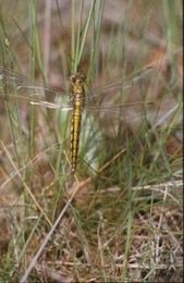 DRAGONFLY, macro, insect