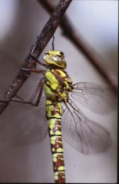 DRAGONFLY, wings, dragonfly, macro