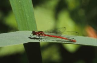 DRAGONFLY, wings, insect, macro, animal