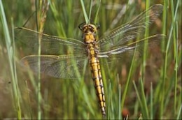 DRAGONFLY, wings