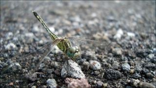 Dragonfly  crawl