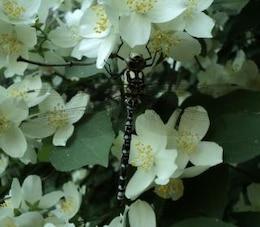dragonfly on jasmine