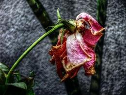Dry rose, sad