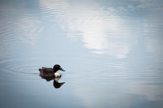 duck  hunting  birds