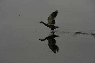 duck flying over water
