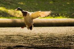 Duck landing on the lake