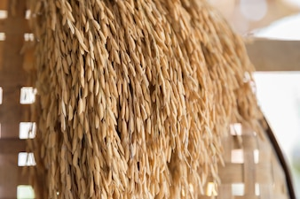 Ear of paddy hanging on