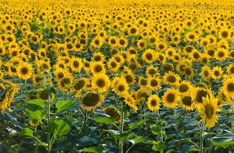 Endless sunflower field