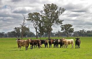 eucalyptus australia gumtree victoria cattle