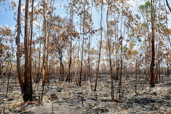 Eucalyptus plantaion area after forest fire attack