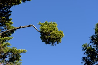 Exotic pine branches in blue sky background