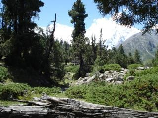 Fairy Meadow, Nanga Parbat, forest