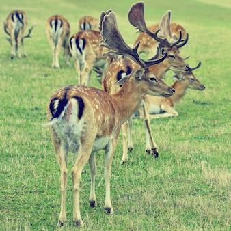 雄牛 - 休眠鹿。 (Dama dama)動物との美しい自然の背景。夕日のある森と自然。